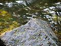 Dragonfly Crabtree Creek Mill Trail Umstead SP 3334 (5894441982) (2).jpg
