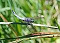 Dragonfly July 2009-1.jpg