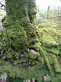 Dripping with moss - geograph.org.uk - 681602.jpg