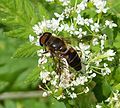Drone-fly. Eristalis pertinax - Flickr - gailhampshire.jpg
