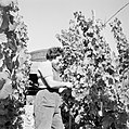 Druivenplukster aan het werk, Bestanddeelnr 254-4156.jpg