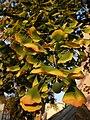 Dry and sunny days in August, yellow green brown leaves of Ginko biloba tree in Marburg near Weidenhäuser Brücke, 2018-08-14.jpg