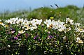 Dryas octopetala flowers.jpg
