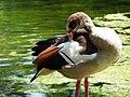 Duck (5942731954).jpg