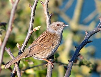 Sperm competition - Male dunnocks (Prunella modularis) peck at the female's cloaca, removing sperm of previous mates.