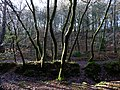 Durford Wood - geograph.org.uk - 1131877.jpg