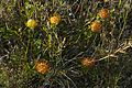 Dwarf Pincushion (Leucospermum gerrardii) (32731473341).jpg