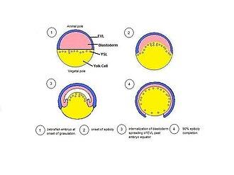 Epiboly - schematic of Zebrafish epiboly