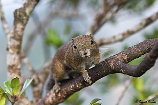 Ear-spot squirrel