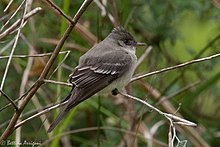 Eastern Wood-Pewee Sabine Woods TX 2018-04-22 12-45-25 (41273196294).jpg
