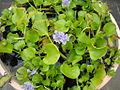 Eceng gondok (Eichhornia crassipes).jpg