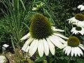 Echinacea purpurea 'Primadonna White'2.jpg