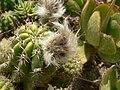 Echinopsis candicans (Villa Hanbury, Italy).jpg