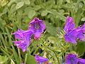 Echium plantagineum (Santa Cruz) 01 ies.jpg