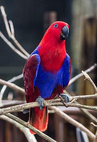 328px-Eclectus_parrot_(Eclectus_roratus)_female,_Gembira_Loka_Zoo,_Yogyakarta,_2015-03-15_04