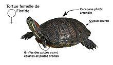Tortue de floride wikip dia for Bassin exterieur pour tortue de floride