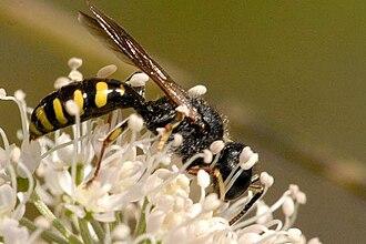 Apoidea - Image: Ectemnius.lapidarius . .lindsey