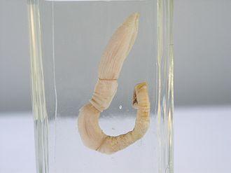 Hemichordate - Acorn worm, a hemichordate.
