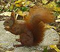 Eichhörnchen im Profil.jpg