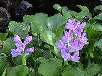 Eichhornia crassipes A