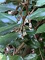 Elaeagnus x ebbingei at the Morris Arboretum 01.jpg