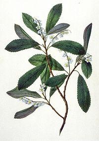 ElaeocarpusDentatus