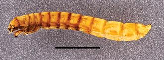Darkling beetle - A tenebrionid larva (Eleodes sp.)