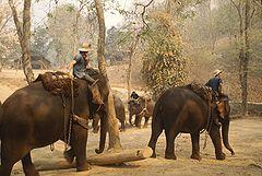 Tréning slonů k přepravě dřeva v Thajsku