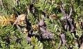 Elephant Tree (Bursera microphylla) - fruit (25694190812).jpg