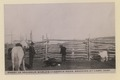 Emery Le Grandeur, world's champion rider, branding at Cabri, Sask (HS85-10-33341) original.tif