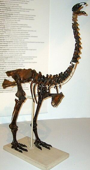 Eastern moa - Skeleton in Zoologisk Museum, Copenhagen