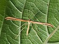 Emmelina monodactyla - T-moth - Пальцекрылка однопалая (44144154394).jpg