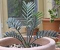 Encephalartos horridus, ca. 7 Jahre alt.jpg