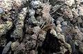 Encroutement algal ou bactérien sur restes de fil de pêche dans la Sèvre niortaise photo F Lamiot 05.jpg