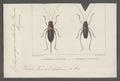 Ephippigera - Print - Iconographia Zoologica - Special Collections University of Amsterdam - UBAINV0274 066 01 0009.tif