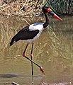 Ephippiorhynchus senegalensis -Kruger National Park, Limpopo, South Africa-8.jpg