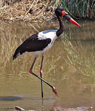 Saddle-billed stork - Adult male in Kruger National Park, South Africa