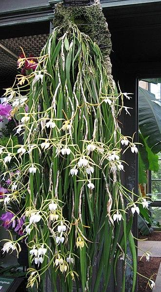 Coilostylis falcata - Image: Epidendrum Parkinsonianum Falcatum