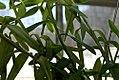 Epidendrum ibaguense 0zz.jpg