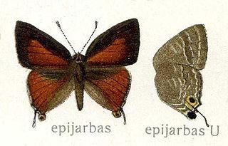 <i>Deudorix</i> Butterfly genus in family Lycaenidae