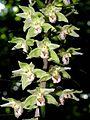 Epipactis purpurata Luxemburg 94.jpg