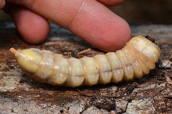 Ergates faber larva (31905655856).jpg