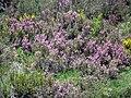 Erica cinerea (Picos de Europa) 2.jpg