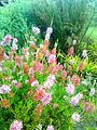 Erica verticillata bush - Kirstenbosch 2.jpg
