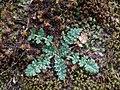 Erodium cicutarium 113869316.jpg