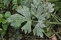Erysiphe aquilegiae var. ranunculi on Ranunculus cf. repens (42277281120).jpg