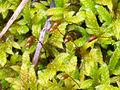 Esporofito Anomodon viticulosus Focus 2012-1-29 SierraMadrona.jpg