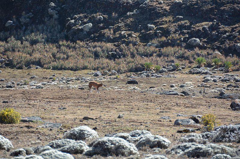 File:Ethiopian Wolf (16314538896).jpg