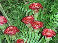 Etlingera corneri – Siam Rose.jpg
