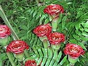 Etlingera corneri—Siam Rose